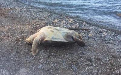 Καρέτα- καρέτα βρέθηκε νεκρή στην παραλία Αη Γιάννης Ευξεινούπολης