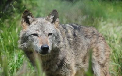 Μαρτυρία κυνηγών για επίθεση λύκου σε ζώα στον Κατήραγα