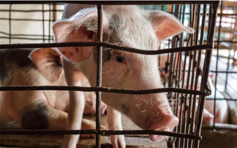 Το Ευρωκοινοβούλιο στέκεται υπέρ της σταδιακής κατάργησης των κλουβιών στην κτηνοτροφία