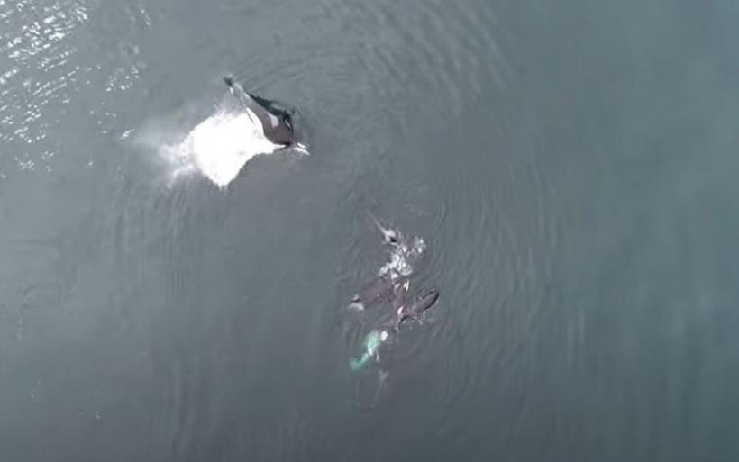 Το μυστήριο της Όρκας: Πώς αναπτύσσουν κοινωνικές επαφές οι «δολοφόνοι φάλαινες»